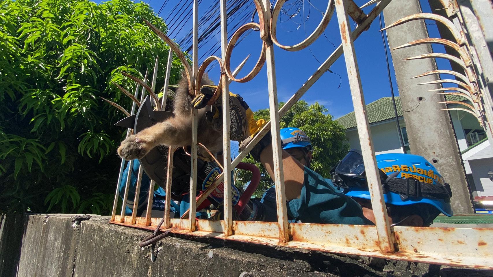ดำเนินการช่วยเหลือสัตว์เลี้ยง(แมว) ถูกเหล็ก(รั้วบ้าน)เสียบบริเวณลำตัว